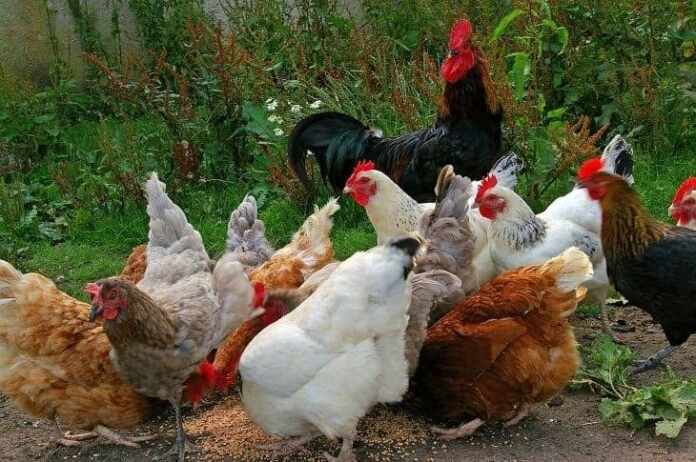 Buying Chicken Feeders